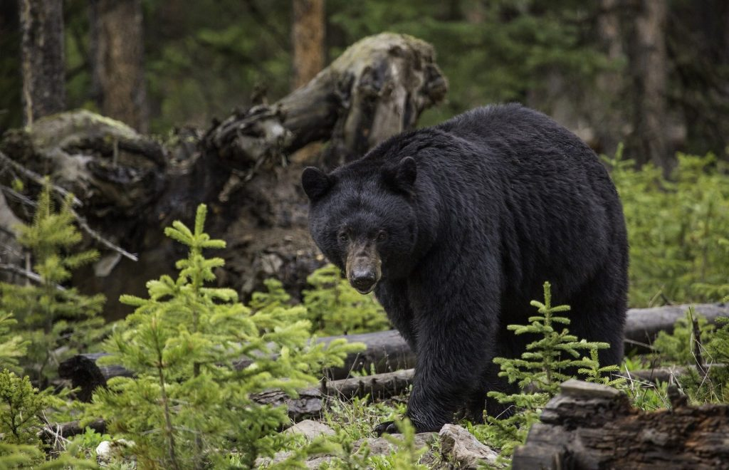A California black bear in the woods