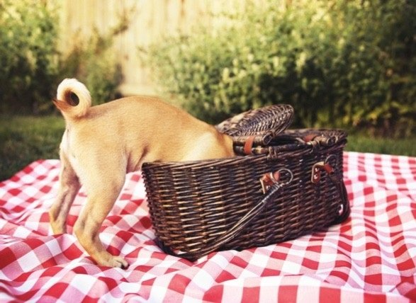 A dog on a picnic sticks its head into a picnic basket.