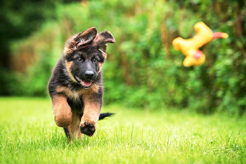 A puppy plays fetch in a yard.