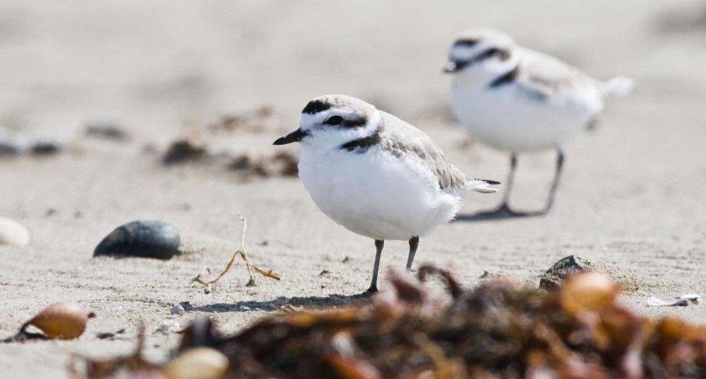 Two western snowy plovers on a beach